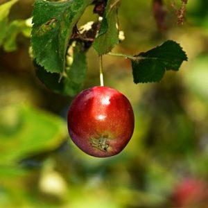 apple-3646043__340